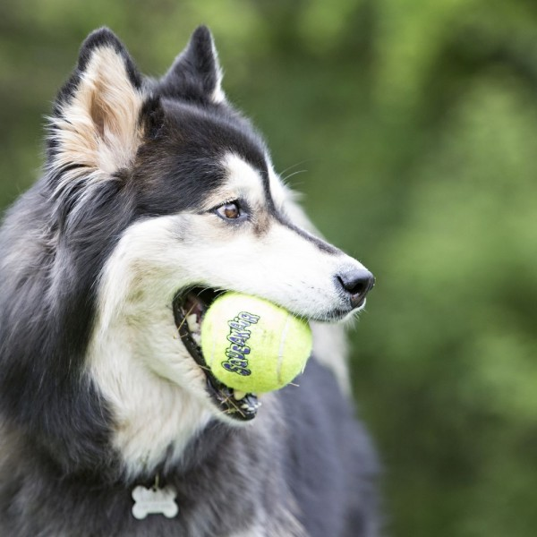 Παιχνίδι Σκύλου KONG Air Squeaker Tennis Ball with Rope
